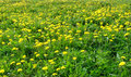 Meadow with dandelions green many yellow photo Royalty Free Stock Photography