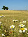Meadow with flowers Royalty Free Stock Photography