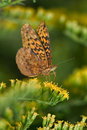 Meadow Fritillary Royalty Free Stock Images