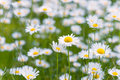 Meadow full with ox exe daisies daisy flowers Royalty Free Stock Photos