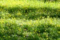 stock image of  Meadow glade of yellow dandelions
