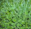 Meadow grass and clover in dew drops at dawn.Background with clover for St. ptrick\'s day and easter Royalty Free Stock Photo