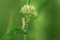 Meadow grasshopper Royalty Free Stock Photo