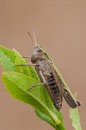 Meadow grasshopper a perched on bilberry leaves Stock Images