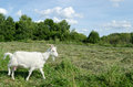 Meadow graze white goat nibble on grass summer day Stock Image