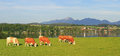 Meadow with grazing cows idyllic scenery riegsee bavaria lake Royalty Free Stock Photos