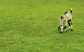 Meadow with a grazing goat Royalty Free Stock Photo