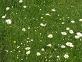 Meadow green grass and daisy moonflowers in spring with the calmness and relation with nature.