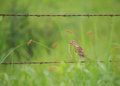 Meadowlark in country Royalty Free Stock Photo