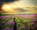 Meadow of lavender nature composition Stock Image