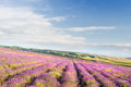 Meadow of lavender nature composition Stock Photos