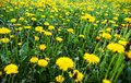 Meadow with lots of blooming yellow dandelions Royalty Free Stock Images
