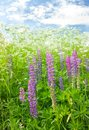 Meadow lupine flowering purple on Stock Photo