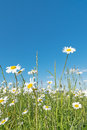 Meadow with marguerites and blue sky on a sunny day in spring Stock Photography