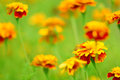 Meadow Of Marigolds Royalty Free Stock Images