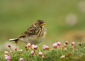 Meadow pipit anthus pratensis amongst pink thrift shetland Royalty Free Stock Image