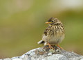 Meadow pipit anthus pratensis juvenile sitting on a rock shetland Stock Image
