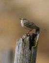 Meadow pipit bokeh Stock Image
