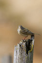 Meadow pipit a on a broken fence post Royalty Free Stock Photos