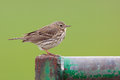 A meadow pipit on a fence Stock Photography