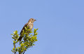 A meadow pipit on ore a titlark in tree Stock Photography