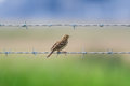 Meadow pipit a resting between barbed wires Royalty Free Stock Photo