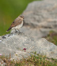 A Meadow Pipit on a rock Royalty Free Stock Photography