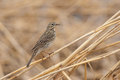 Meadow pipit on a straw standing reed in spring Royalty Free Stock Photos