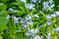 Meadow plant background: blue little flowers - forget-me-not close up and green grass. Shallow DOF Royalty Free Stock Photo
