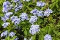 Meadow plant background: blue little flowers
