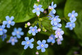 Meadow plant background: blue little flowers - forget-me-not close up and green grass.