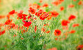 Meadow poppy flowers beautiful red wild flower Royalty Free Stock Photo