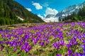 Meadow with purple crocus flowers and snowy mountains, Transylvania, Romania Royalty Free Stock Photo