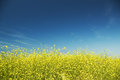 Meadow of rape nature composition Royalty Free Stock Photos