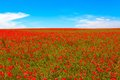 Meadow of red poppies against blue sky Royalty Free Stock Photo