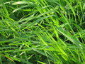 Meadow's grass Stock Photography