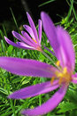 Meadow Saffron Stock Images