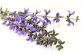 Meadow sage blue flowers on a bright background Stock Photos