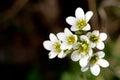 Meadow Saxifrage (Saxifraga granulata) Royalty Free Stock Photo