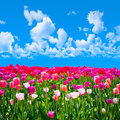 Meadow of tulips on a background of blue sky with clouds Stock Image