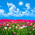 Meadow of tulips on a background of blue sky with clouds sun shine Stock Photography