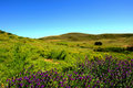 Meadow with violet flowers Stock Image