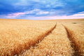 Meadow of wheat Royalty Free Stock Photo