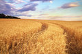 Meadow of wheat beautiful landscape Royalty Free Stock Photography