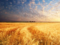 Meadow of wheat nature composition Royalty Free Stock Images