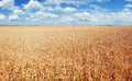 meadow wheat under sky Royalty Free Stock Photo