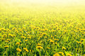 Meadow with yellow dandelions closeup in summer or spring Royalty Free Stock Photos