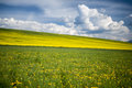 Meadow with yellow flowers Stock Image