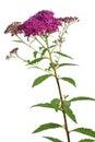 Meadowsweet flower on white Royalty Free Stock Photos