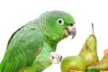 Mealy amazon parrot eating on white amazona farinosa of a background Stock Image